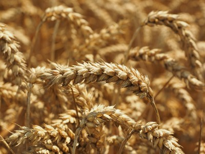 Wheat Trading